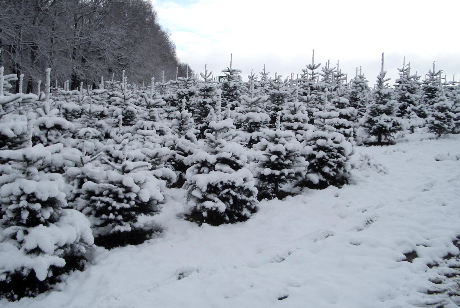 weihnachtsbaum plantage selber schlagen weihnachtsb ume. Black Bedroom Furniture Sets. Home Design Ideas